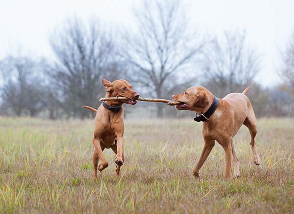 Active Dogs Playing